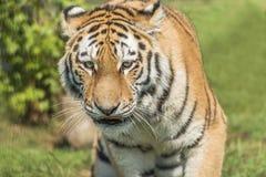 Amur Tiger (Panthera tigris altaica). Closeup Stock Photography