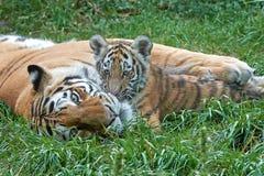 Amur Tiger (Panthera tigris altaica) Royalty Free Stock Image