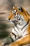 Amur tiger Royalty Free Stock Photos