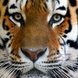 Amur tiger Panthera tigris altaica portrait. Amur tiger Panthera tigris altaica head close up square shape image, also known as Siberian tiger Stock Images