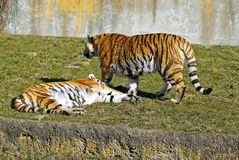 Amur tiger Stock Images