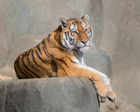 Amur tiger. (Panthera tigris altaica) resting on rocky ledge Stock Image