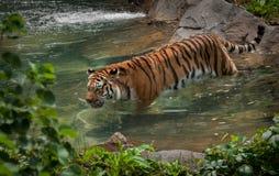 Amur Tiger (Panthera tigris) in Pool. Captive animal Royalty Free Stock Photos