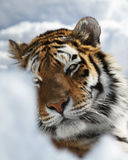 Amur tiger portrait Royalty Free Stock Photos