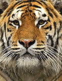 Amur Tiger Stock Photo