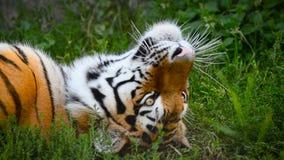 Amur tiger portrait. Amur tiger rests on a grass, closeup portrait stock video footage