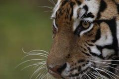 Amur tiger portrait side view Stock Photo