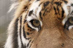 Amur tiger portrait side view royalty free stock photo