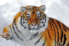 Amur Tiger. Portrait of the Amur Tiger in winter Royalty Free Stock Photo