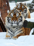 Amur Tiger. Portrait of the Amur Tiger in winter Stock Photos