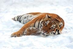 Amur Tiger Stock Photography