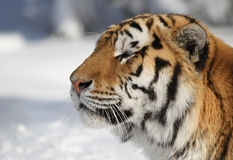 Amur tiger profile Stock Image