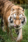 Amur Tiger On the Prowl III Stock Photo