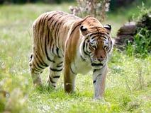 An Amur Tiger Stock Photography