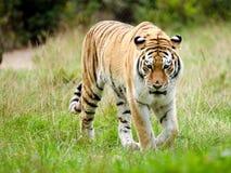 An Amur Tiger Stock Image