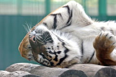Amur tiger put his paw on vacation Royalty Free Stock Photo