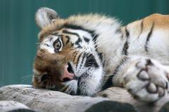 Amur tiger resting on a tree closeup Royalty Free Stock Photo