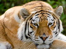 An Amur Tiger Stock Images