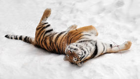 Amur Tiger Rolls in the Snow Stock Photos