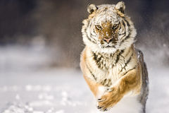 Amur tiger is running while looking towards camera. Stock Images