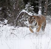 Amur Tiger running in snow Royalty Free Stock Photos