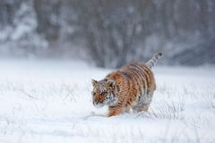 Amur tiger running in the snow. Action wildlife scene, danger animal. Cold winter, taiga, Russia. Snowflake with beautiful Siberia. Asia stock photography