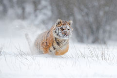 Amur tiger running in the snow. Action wildlife scene with danger animal. Cold winter in tajga, Russia. Snowflake with beautiful S Stock Photos