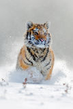 Amur tiger running in the snow. Action wildlife scene with danger animal. Cold winter in tajga, Russia. Snowflake with beautiful S Stock Photography