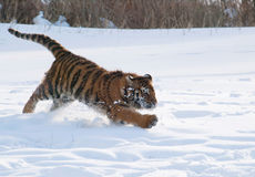 Amur tiger running in the snow - Panthera tigris altaica Stock Photos