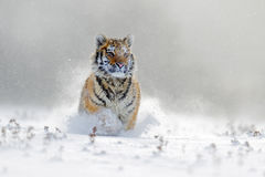 Amur tiger running in the snow. Tiger in wild winter nature. Action wildlife scene with danger animal. Cold winter in tajga, Russi Stock Images
