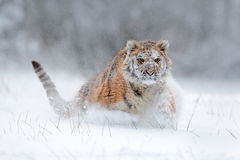 Amur tiger running in the snow. Tiger in wild winter nature. Action wildlife scene with danger animal. Cold winter in tajga, Russi Royalty Free Stock Images