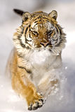Amur tiger is running and snowflakes are hitting his face. Stock Images