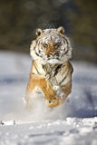 Amur tiger is running on white snow fast. Royalty Free Stock Photos