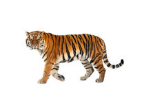 Amur tiger. Siberian tiger P. t. altaica, also known as Amur tiger Stock Photo