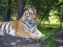 Amur tiger Stock Image