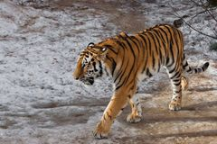The Amur tiger Siberian tiger walks in the snow. A large wild and strong striped cat stock image