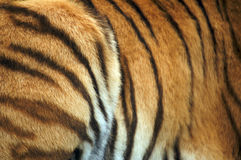 Amur Tiger Skin Stock Images