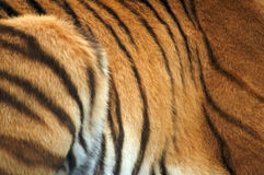 Amur Tiger Skin Royalty Free Stock Photography