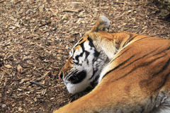 Amur tiger sleeps. Stock Photo