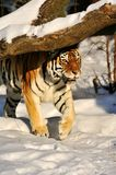 Amur tiger on the snow. Amur Siberian Tiger hunt from an ambush Stock Photo