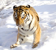 The Amur tiger on snow Royalty Free Stock Images