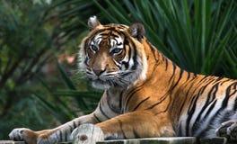 Amur tiger som ligger på en plattform av plankor Arkivfoton