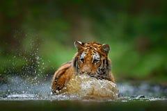 Amur tiger som spelar i flodvatten Faradjur, tajga, Ryssland Djur i grön skogström Grey Stone flodliten droppe siberia Arkivbilder