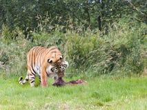 Amur tiger som tuggar på rov arkivfoton