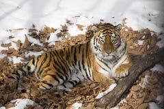 Amur tiger som vilar på torr lövverk arkivbild