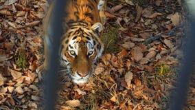 Amur tiger stares at someone and licks its lips. Primorsky Safari park, Russia. Beautiful amur tiger stares at someone and licks its lips. Primorsky Safari park stock video footage