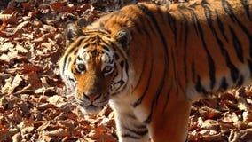 Amur tiger stares at someone and licks its lips. Primorsky Safari park, Russia. Beautiful amur tiger stares at someone and licks its lips. Primorsky Safari park stock footage
