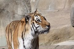 Amur Tiger Stock Images