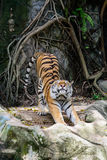 Amur tiger stretching out Royalty Free Stock Photo