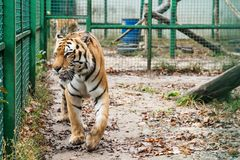 Tiger walks in a cage Stock Images